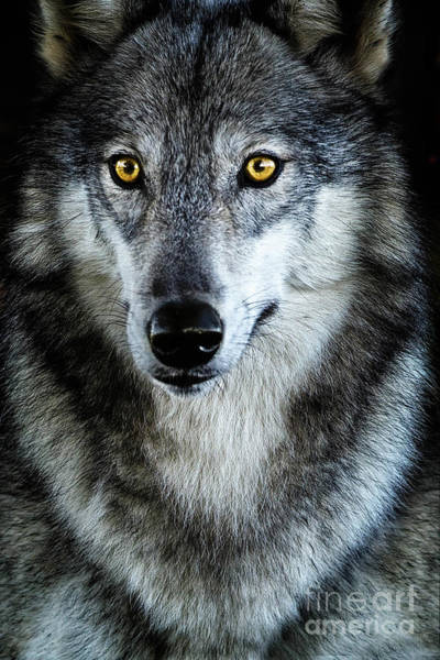 Timber Wolves Photograph - Timber by Todd Bielby