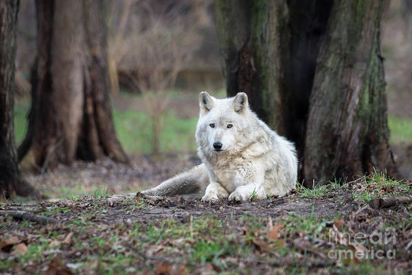 Photograph - Timber Wolf by Andrea Silies