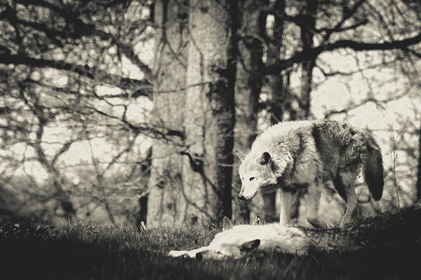 Timber Wolves Photograph - Timber Wolf by Angela Aird