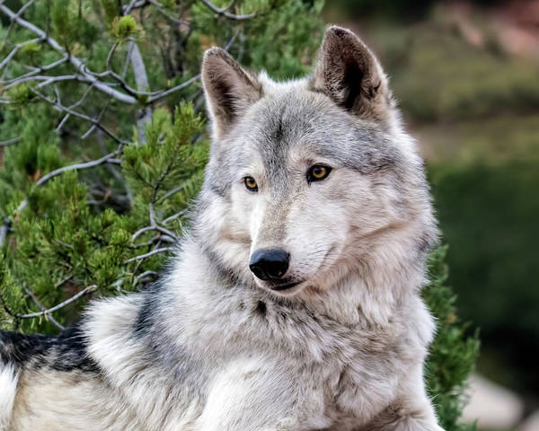 Wall Art - Photograph - Timber Wolf by Dawn Key
