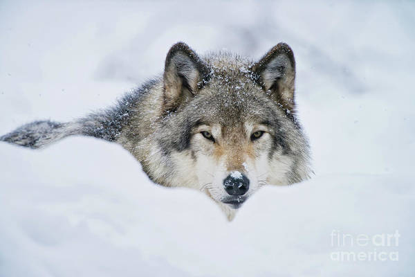 Photograph - Timber Wolf Picture - Tw281 by Wolves Only