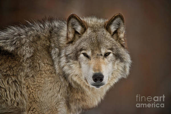Photograph - Timber Wolf Picture - Tw283 by Wolves Only