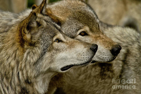 Photograph - Timber Wolf Picture - Tw284 by Wolves Only