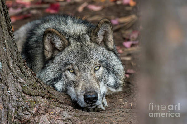 Photograph - Timber Wolf Picture - Tw286 by Wolves Only