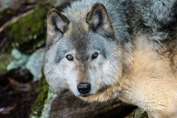 Photograph - Timber Wolf Picture - Tw291 by Wolves Only