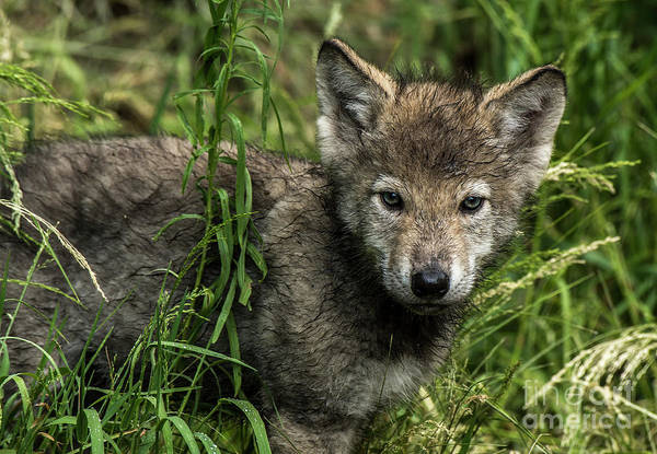 Photograph - Timber Wolf Picture - Tw336 by Wolves Only