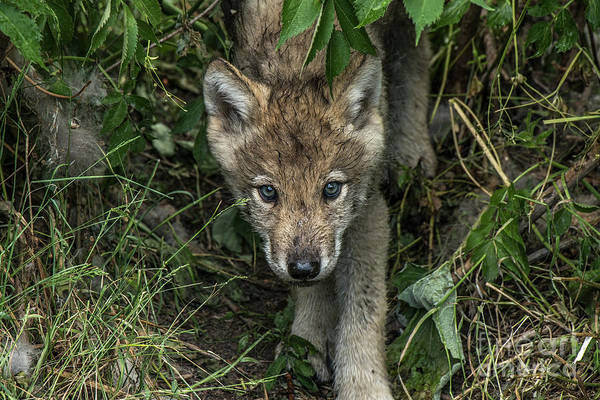 Photograph - Timber Wolf Picture - Tw337 by Wolves Only