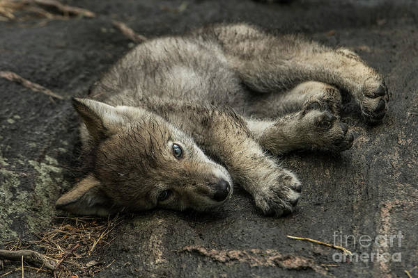 Photograph - Timber Wolf Picture - Tw338 by Wolves Only