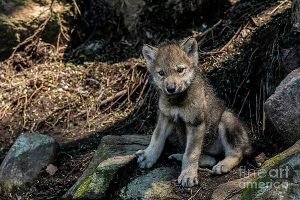 Photograph - Timber Wolf Picture - Tw339 by Wolves Only