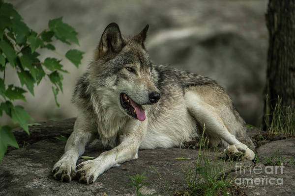 Photograph - Timber Wolf Picture - Tw414 by Wolves Only