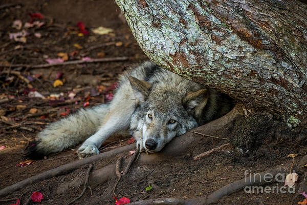 Photograph - Timber Wolf Picture - Tw415 by Wolves Only