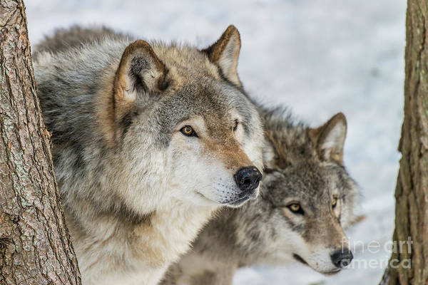 Photograph - Timber Wolf Picture - Tw416 by Wolves Only