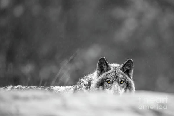 Photograph - Timber Wolf Picture - Tw420 by Wolves Only