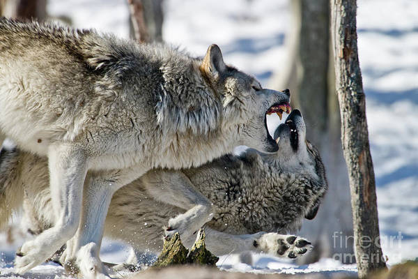 Photograph - Timber Wolf Picture - Tw68 by Wolves Only