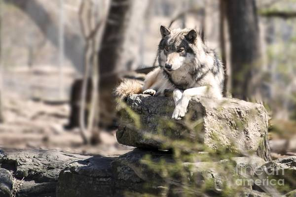 Timberwolves Photograph - Timber Wolf Portrait by Anthony Sacco