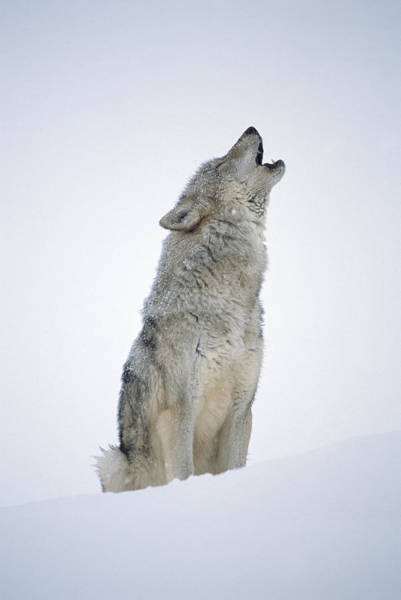 Art Print featuring the photograph Timber Wolf Portrait Howling In Snow by Tim Fitzharris