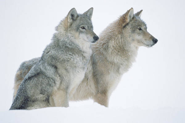 Wall Art - Photograph - Timber Wolf Portrait Of Pair Sitting by Tim Fitzharris