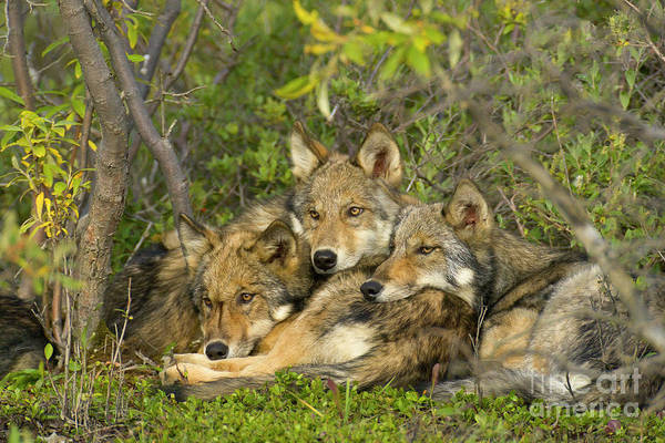 Wall Art - Photograph - Timber Wolf Trio In Denali by Yva Momatiuk John Eastcott