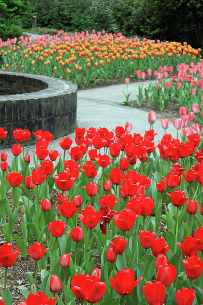Seasonal Wall Art - Photograph - Time For Tulips by Suzanne Gaff