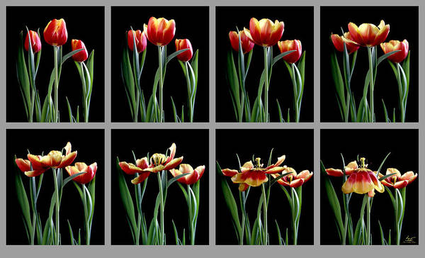 Photograph - Time Lapse Tulips by Sam Davis Johnson