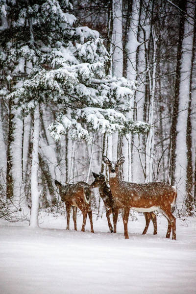 White Tailed Deer Photograph - Time To Go by Karol Livote