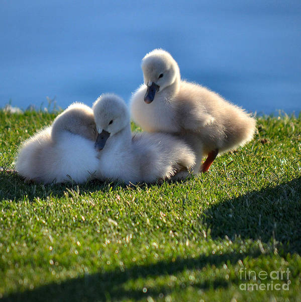 Swan Neck Photograph - Time To Snuggle by Deb Halloran