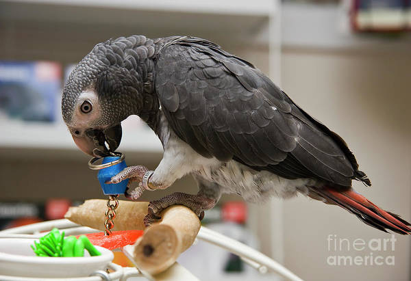 Photograph - Timneh African Grey by Jill Lang
