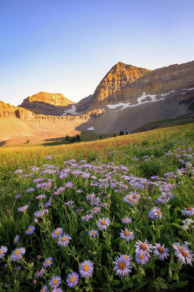 Alpine Meadows Photograph - Timpanogos Astors by Johnny Adolphson