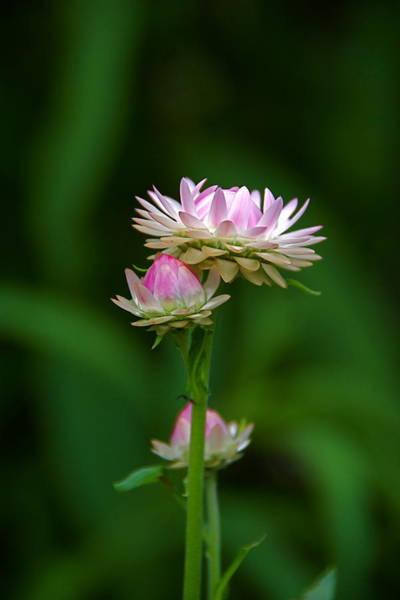 Photograph - Tiny Dahlias Green Aura by Byron Varvarigos