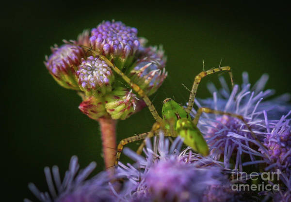Photograph - Tiny Green Spider #2 by Tom Claud