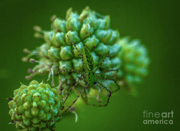 Photograph - Tiny Green Spider by Tom Claud