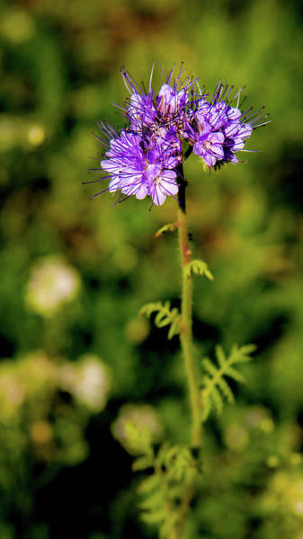 Photograph - Tiny Puprle Flowers by Onyonet  Photo Studios