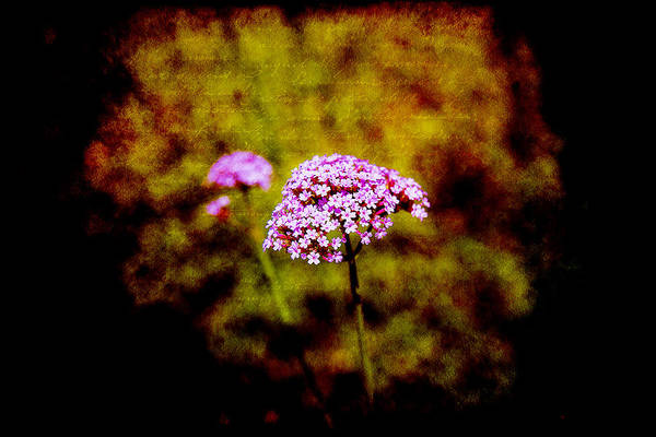 Photograph - Tiny Purple Beauties by Milena Ilieva