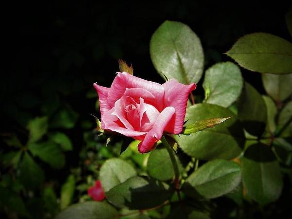 Photograph - Tiny Rose by Ken Bradford