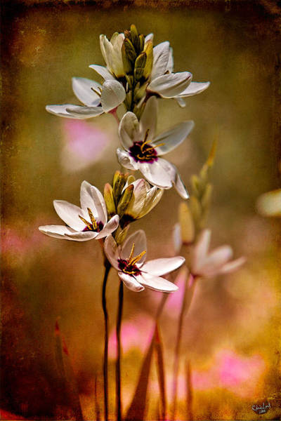 Photograph - Tiny Spring Blooms by Chris Lord