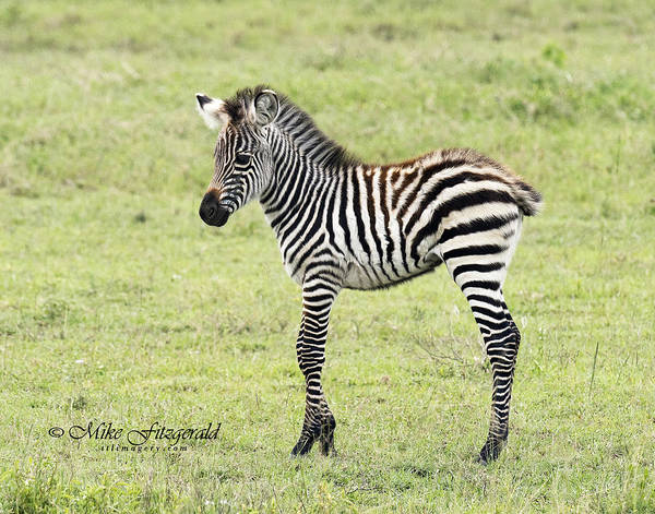 Photograph - Tiny Stripes by Mike Fitzgerald