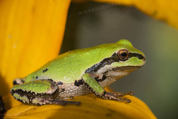 Photograph - Tiny Treefrog by Robert Potts