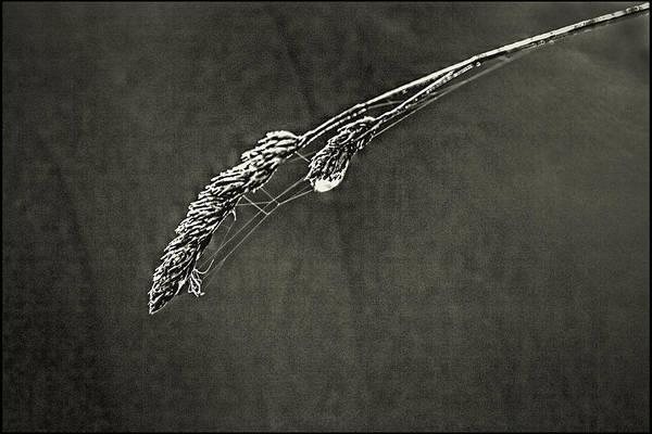 Tiny Web On Bent Grass Art Print