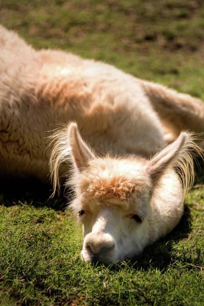 Photograph - Tired Llama by Don Johnson