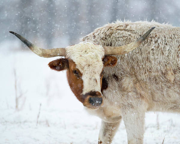 Bovine Photograph - Tired Of Snow by Mike Dawson