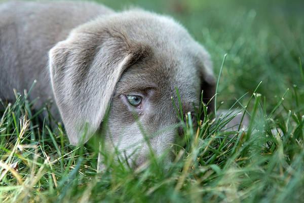 Wall Art - Photograph - Tired Silver Labrador Retriever Puppy  by Iris Richardson