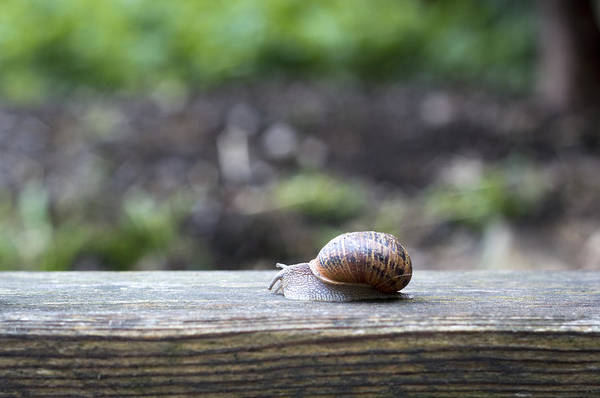 Photograph - Tired Snail by Helga Novelli