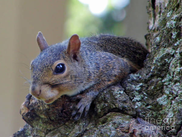 Photograph - Tired Squirrel by D Hackett