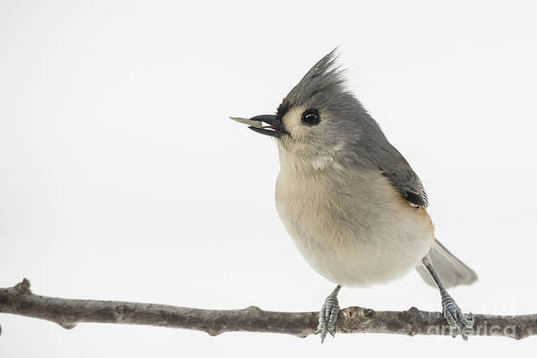 Photograph - Titmouse Eating In Snow by Jemmy Archer