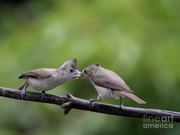 Photograph - Titmouse Feeding Time by Wingsdomain Art and Photography