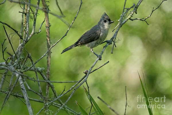 Wall Art - Photograph - Titmouse In The Brush by Deborah Benoit