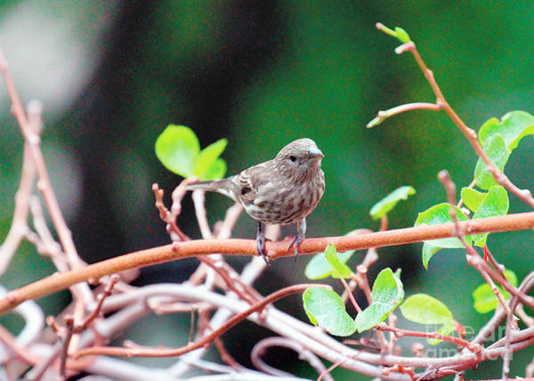 Photograph - Female House Finch Goes Out On A Limb by Patricia Youngquist