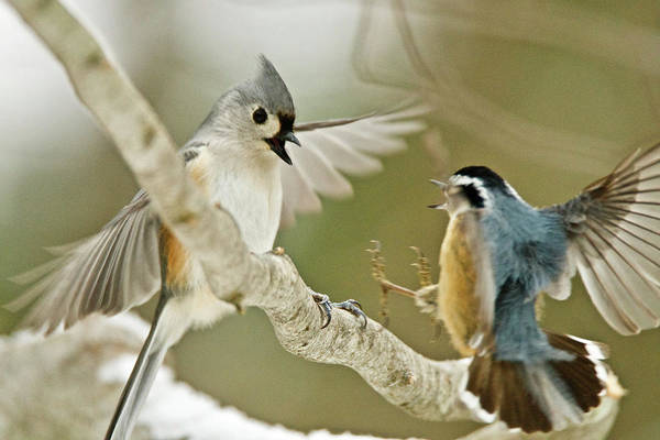 White-breasted Nuthatch Photograph - Titmouse Vs Red-breasted Nuthatch 1689 by Michael Peychich