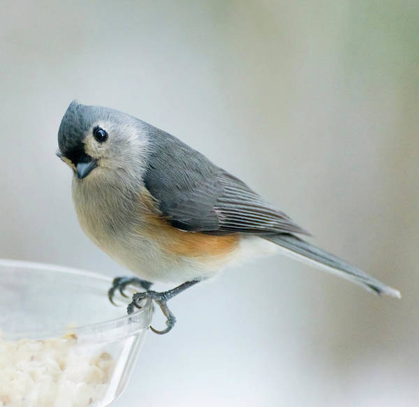 Photograph - Titmouse With Walnuts by Shara Weber