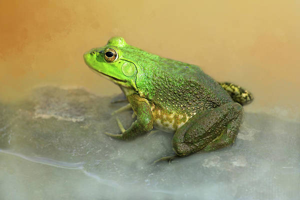 Bullfrog Photograph - Toad-ally Cute by Donna Kennedy